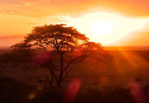 Gratis lagerfoto af afrika, akacietræ