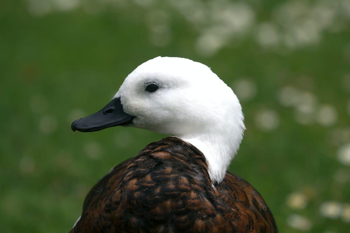 christecl, New Zealand, vịt đầu trắng