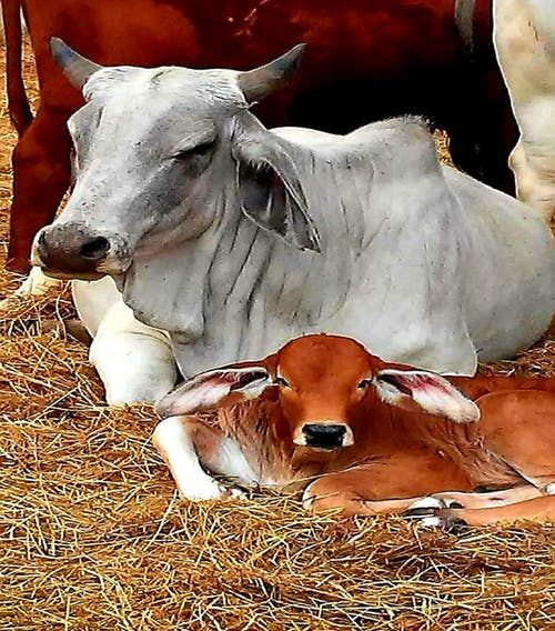 Foto d'estoc gratuïta de #nature #brahman cow #cow #farm #pasture