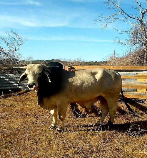 Foto d'estoc gratuïta de #bull #nature #brahman cow #cow #farm #pasture