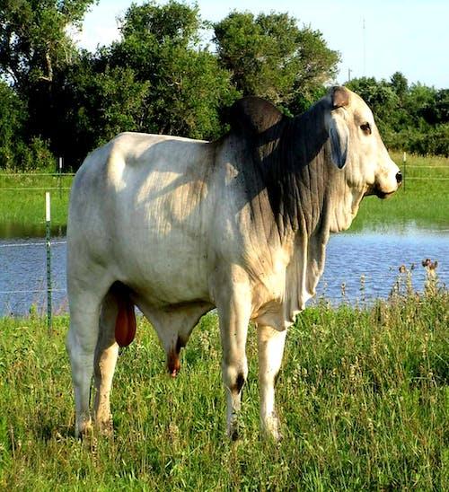 #bull #nature #brahman cow #cow #farm #pasture 的 免費圖庫相片