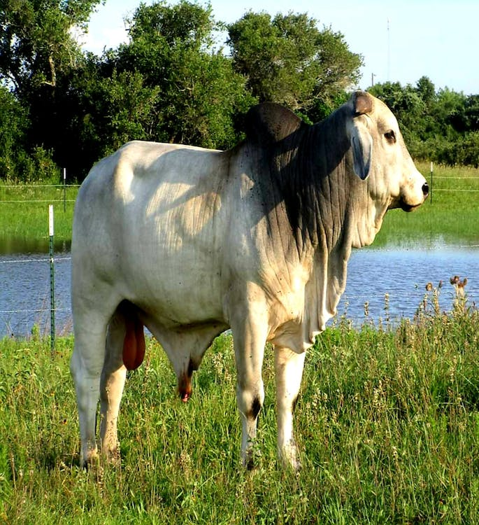 #bull #nature #brahman cow #cow #farm #pasture