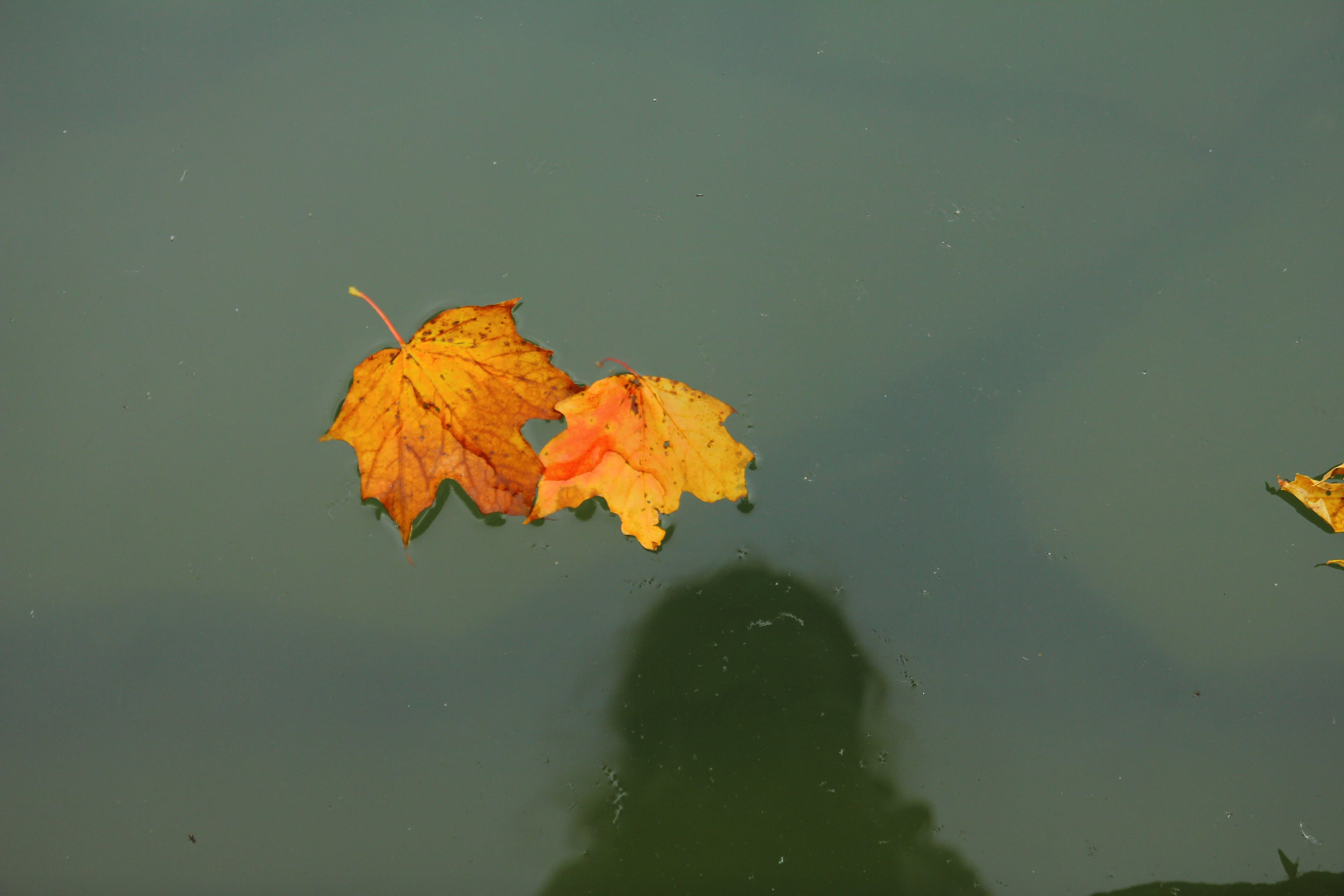Free stock photo of autumn colors, fall colors, garden pond, maple leaves