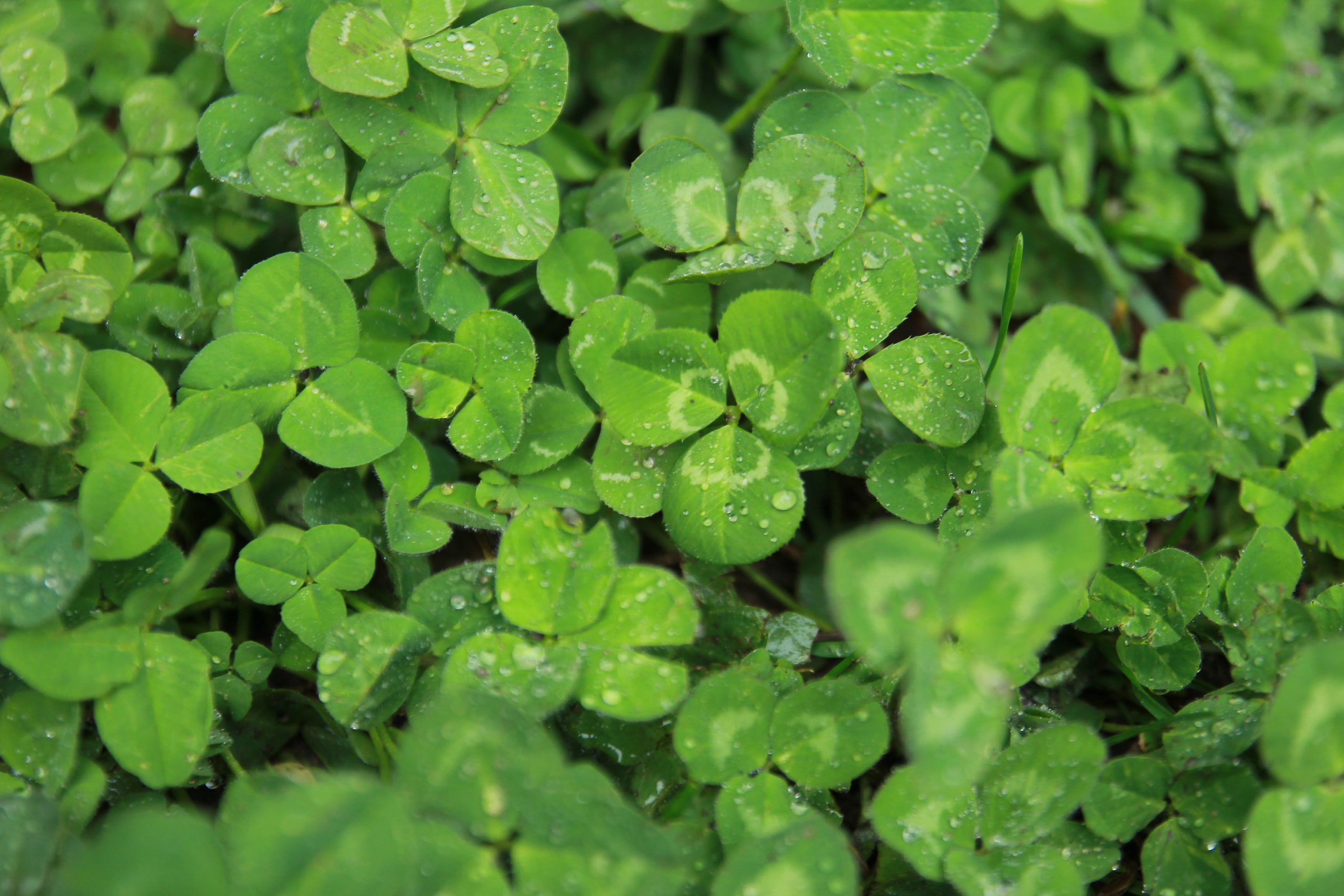 Free stock photo of after the rain, clover, clovers, foggy morning
