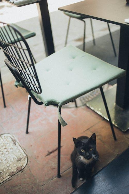 Foto d'estoc gratuïta de animal, cadira, felí, gat