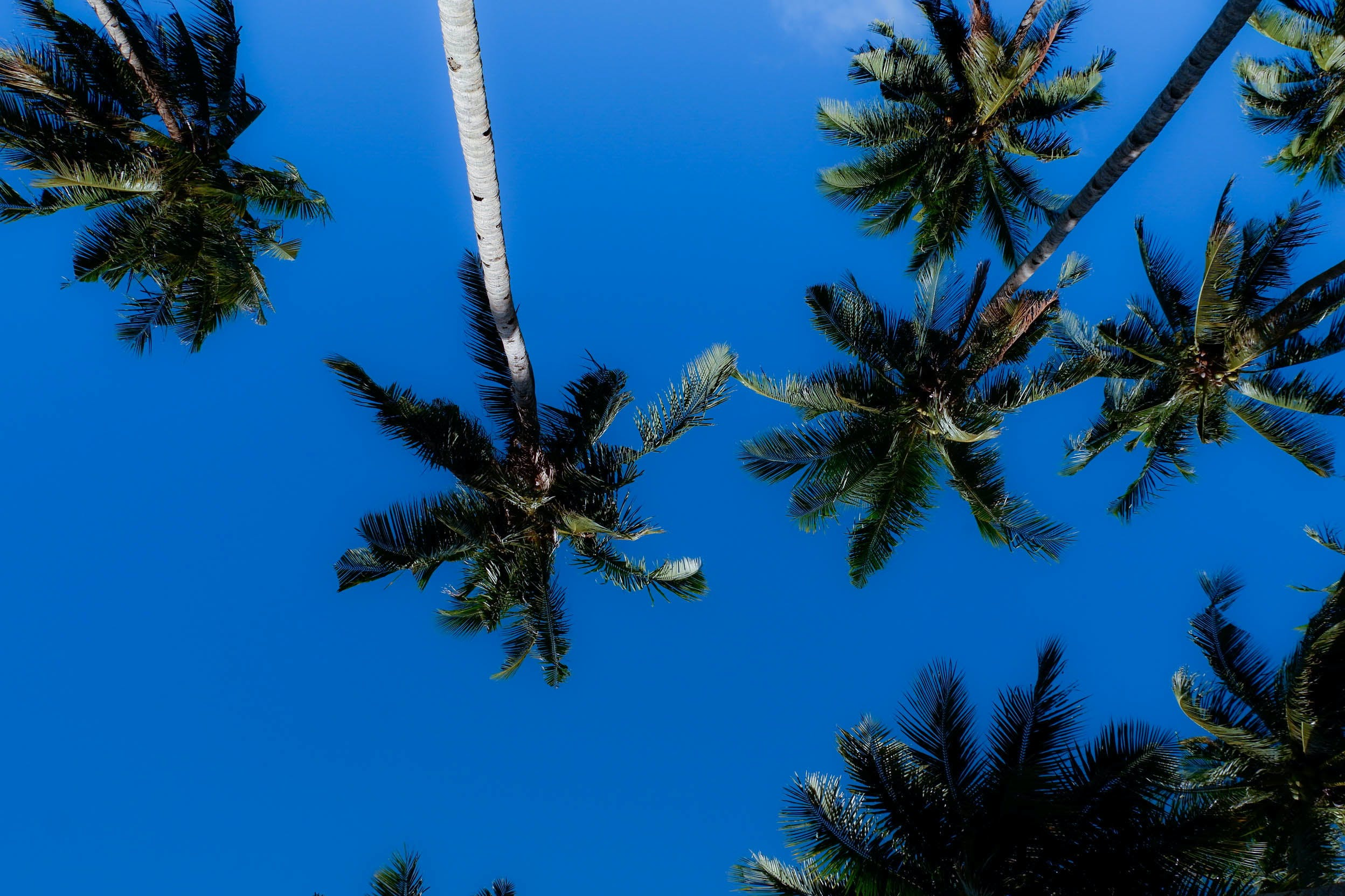 blue sky, coconut trees, dark green plants