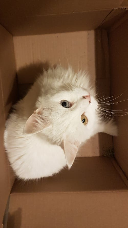Gratis arkivbilde med #cat #animal #white #eyes #cute #box