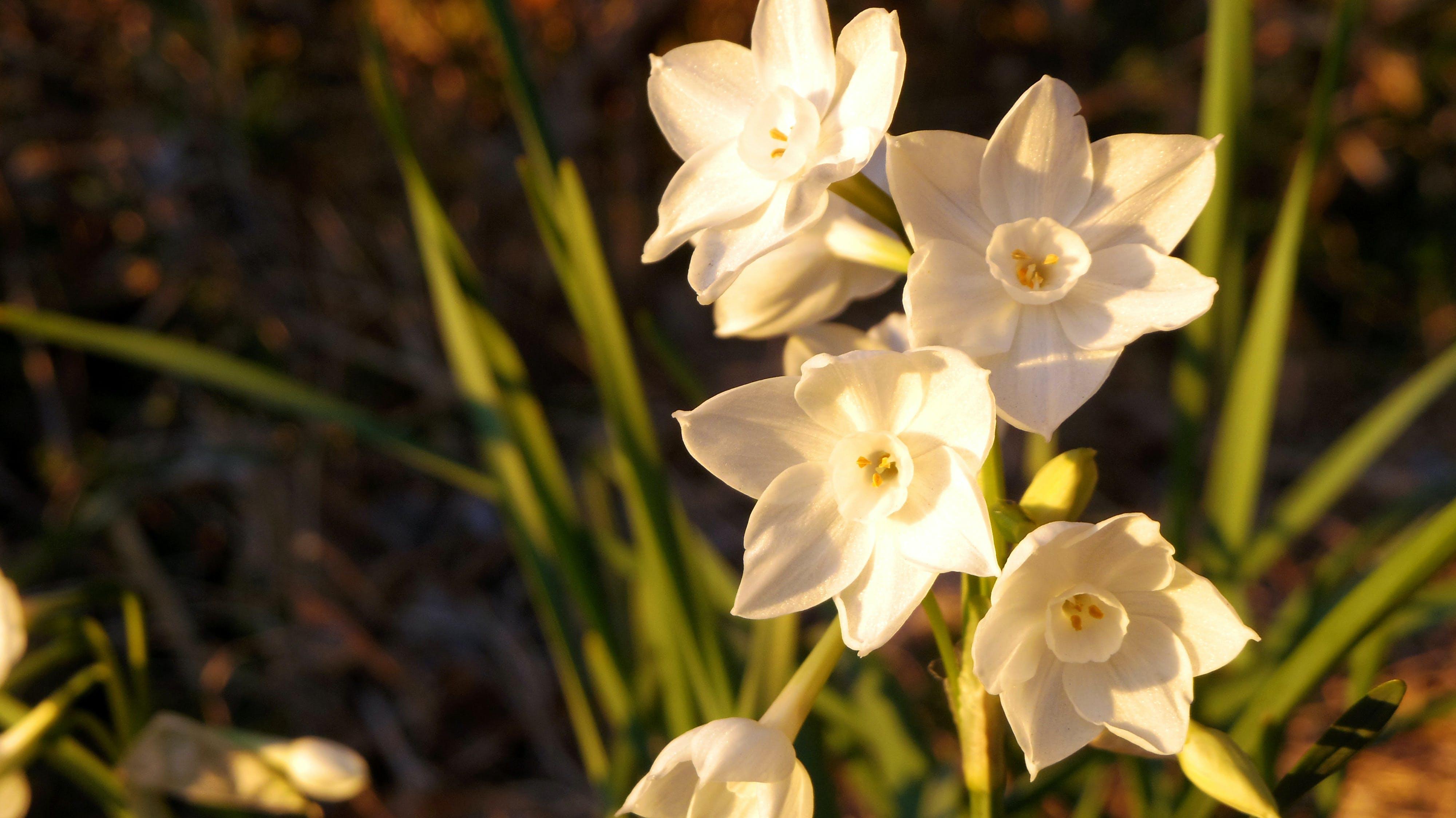 Free stock photo of narcissus, white