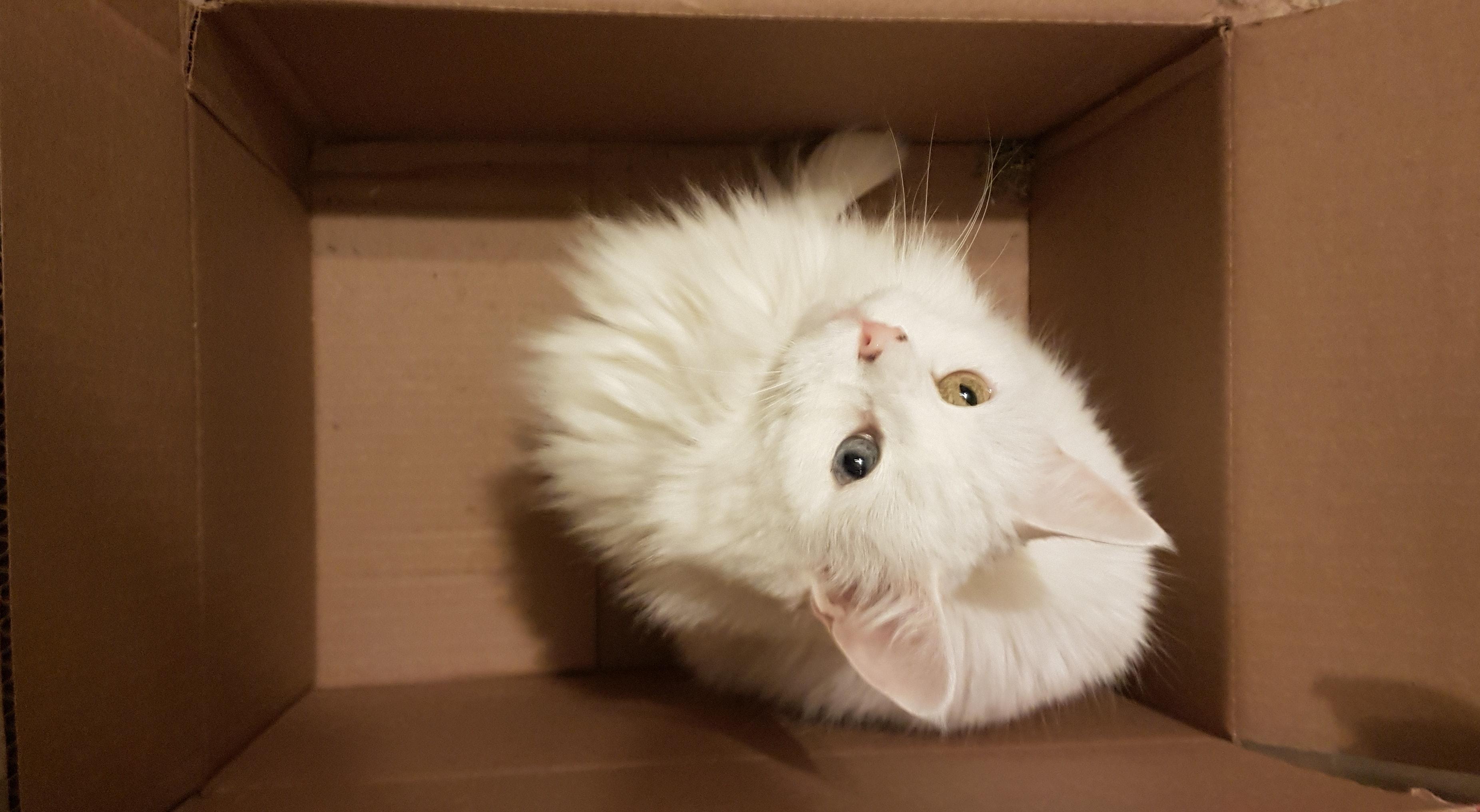 Free stock photo of #cat #animal #white #eyes #cute #box