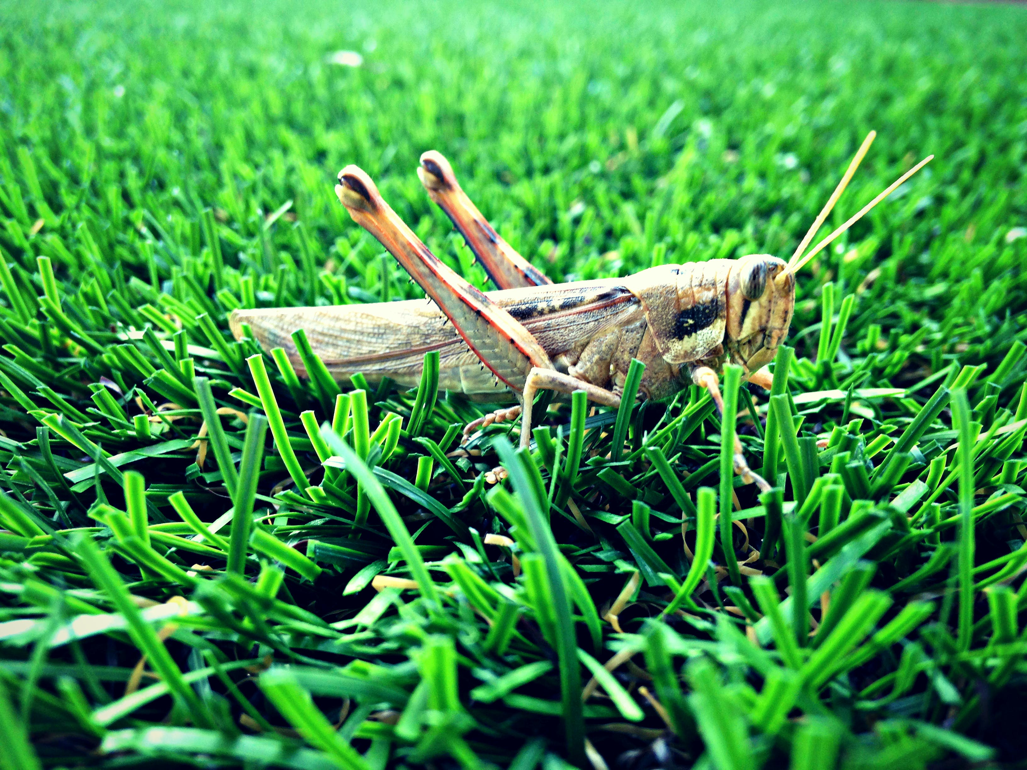 Free stock photo of garden, grass, grasshopper, insect