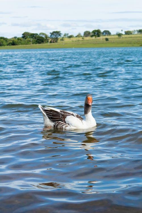 Δωρεάν στοκ φωτογραφιών με γαλάζια λίμνη, πάπιες