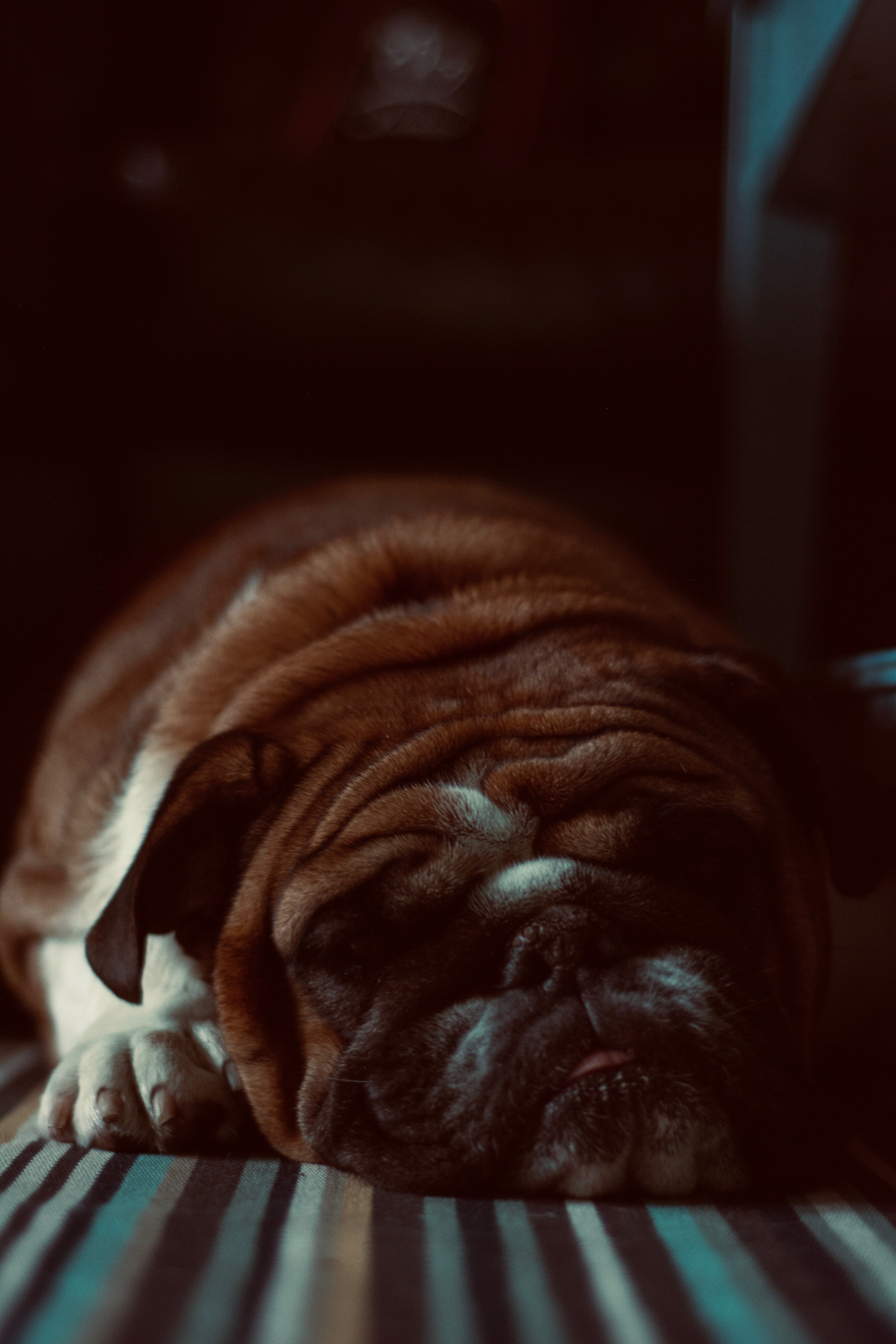 Close-Up Photo of Lying Bulldog