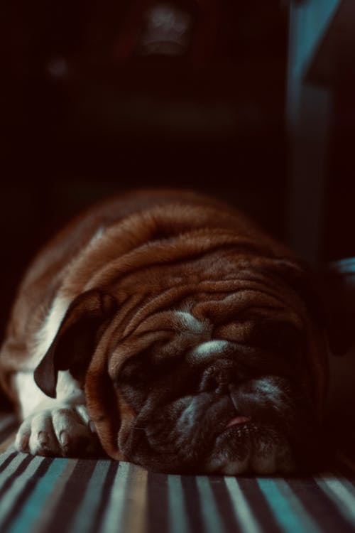 Close-Up Photo of Lying Bulldog