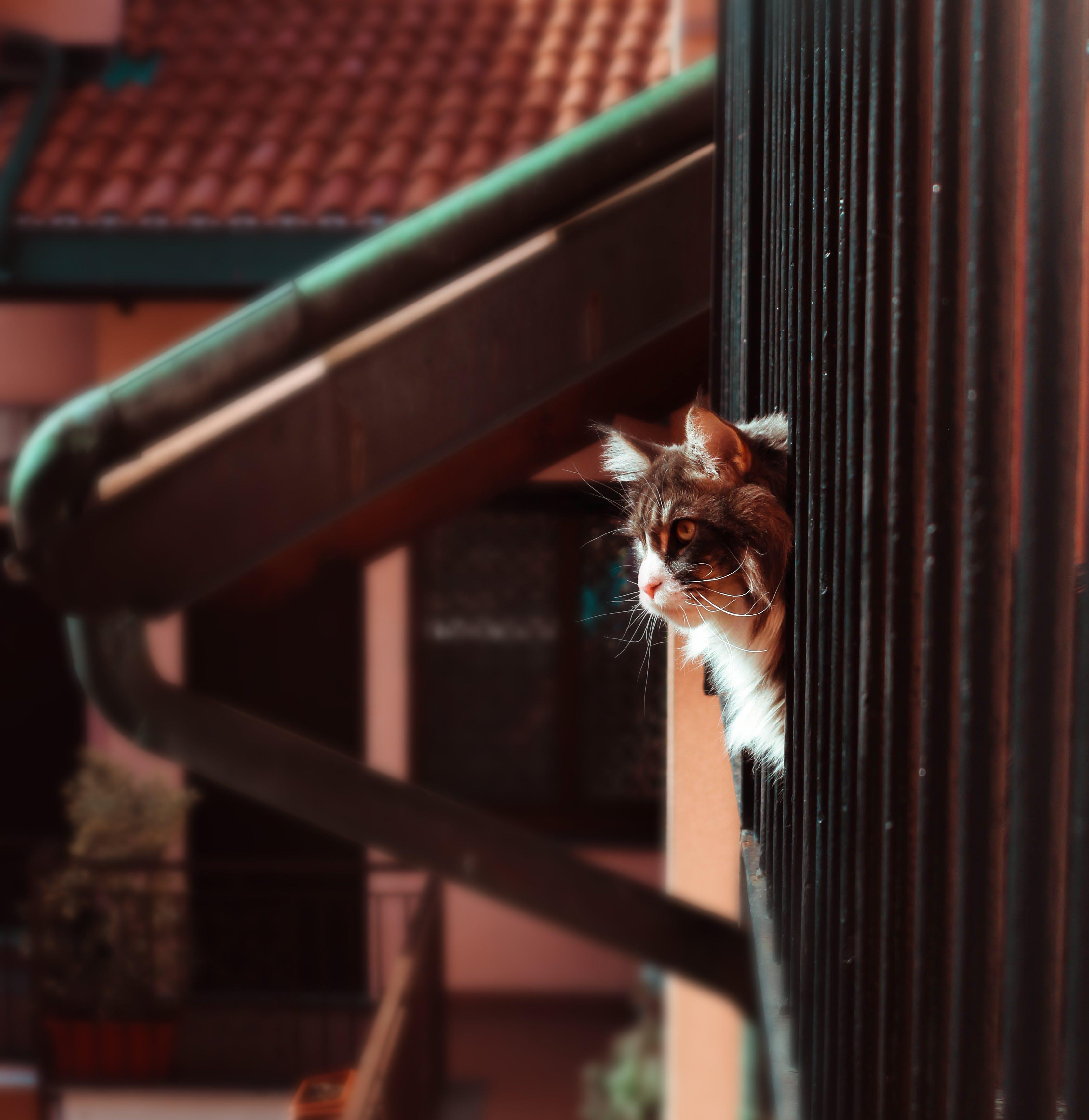 Free stock photo of animal, cat, mainecoon, portrait