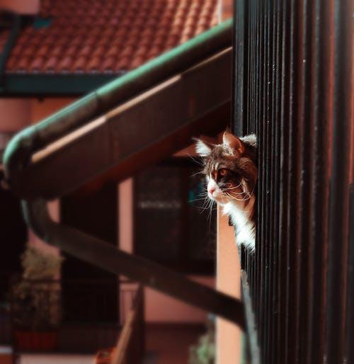 Бесплатное стоковое фото с дикая кошка, животное, кошка, мейн-кун