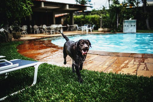 Fotobanka sbezplatnými fotkami na tému bazén, beh, domáce zviera, labradorský retriever