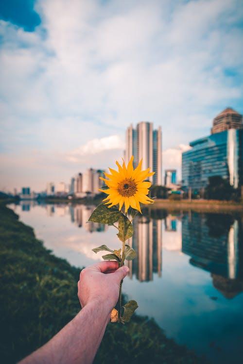 ayçiçeği, bitki örtüsü, çiçek