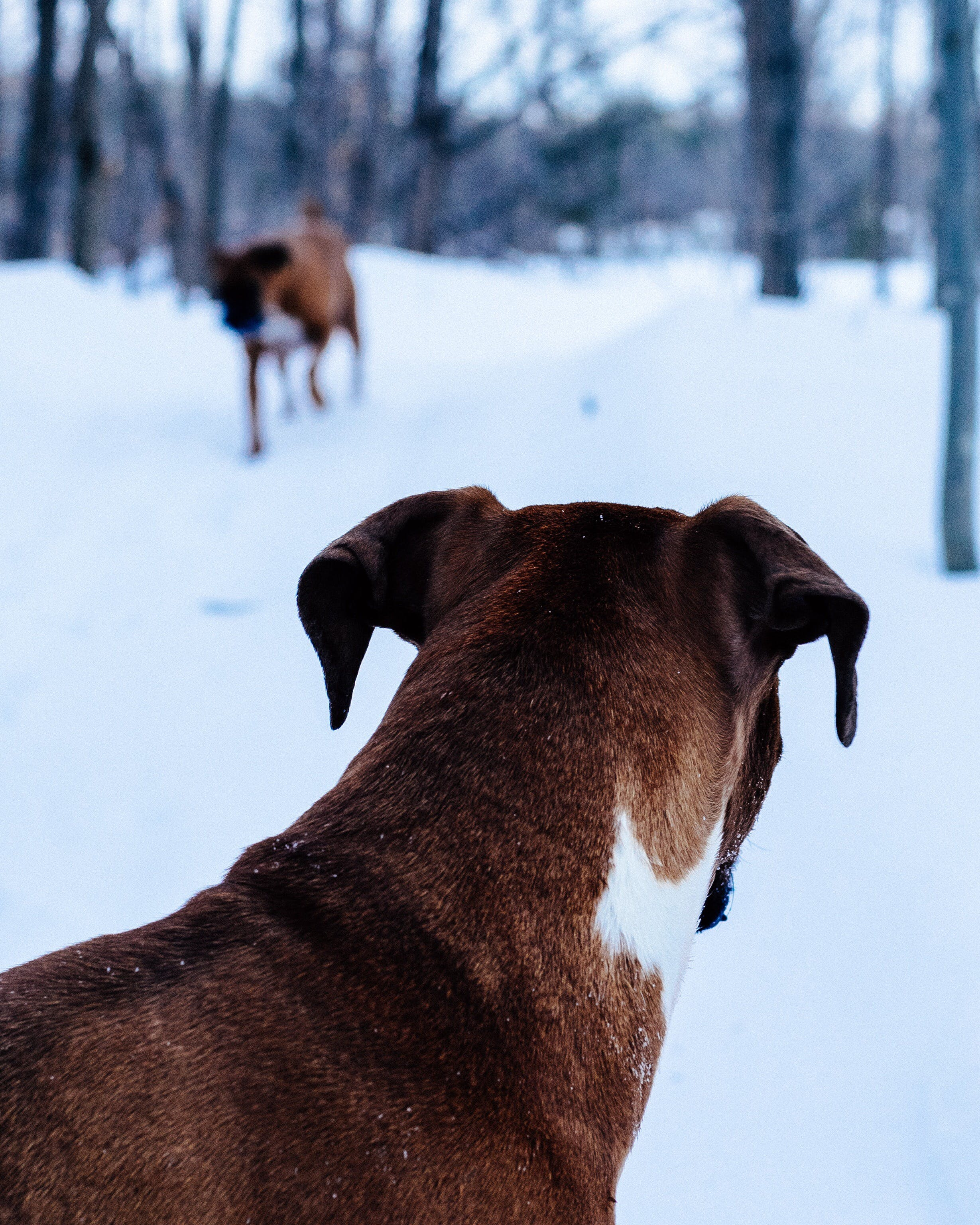 Free stock photo of action, boxer, brown, cold