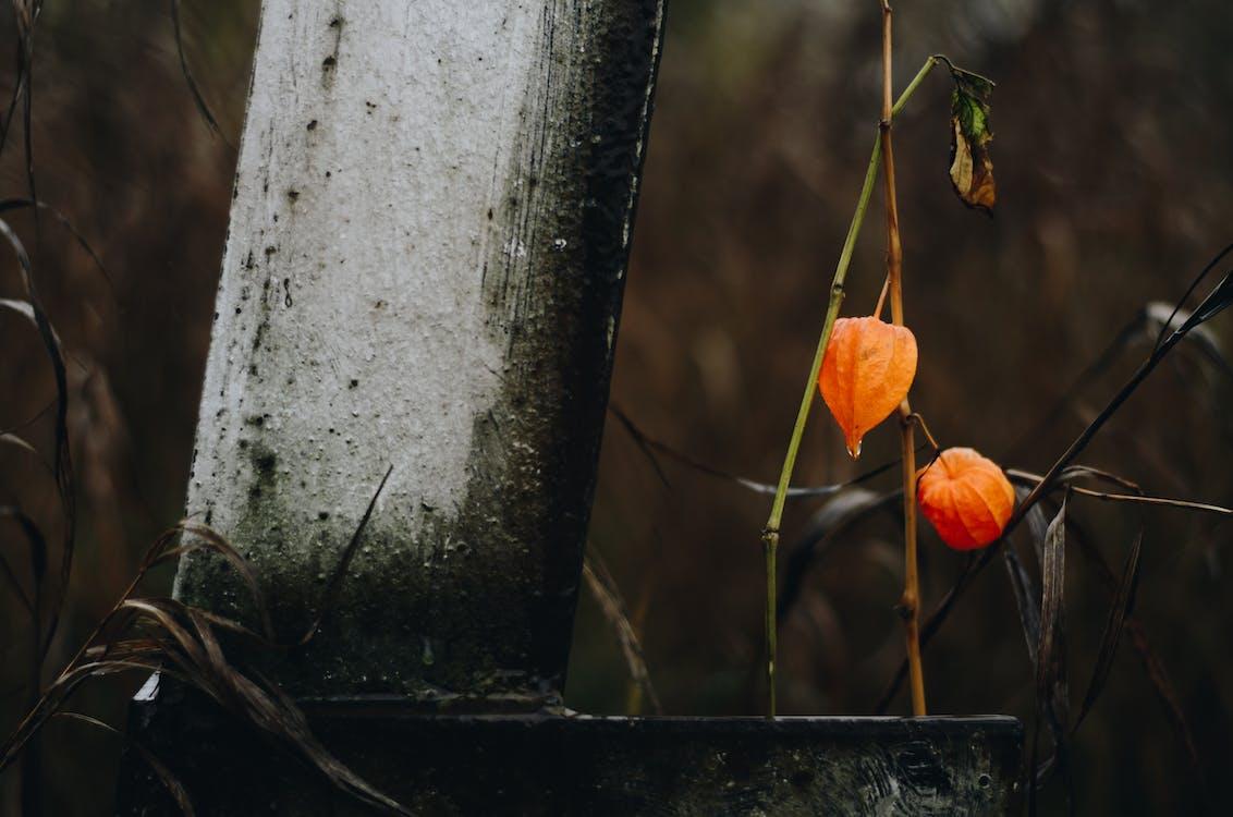 апельсин, атмосферний, квіти