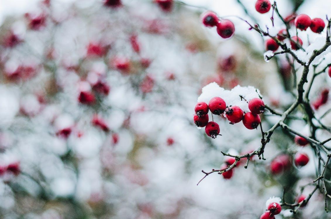 çalı meyveleri, kar, kar yağışlı