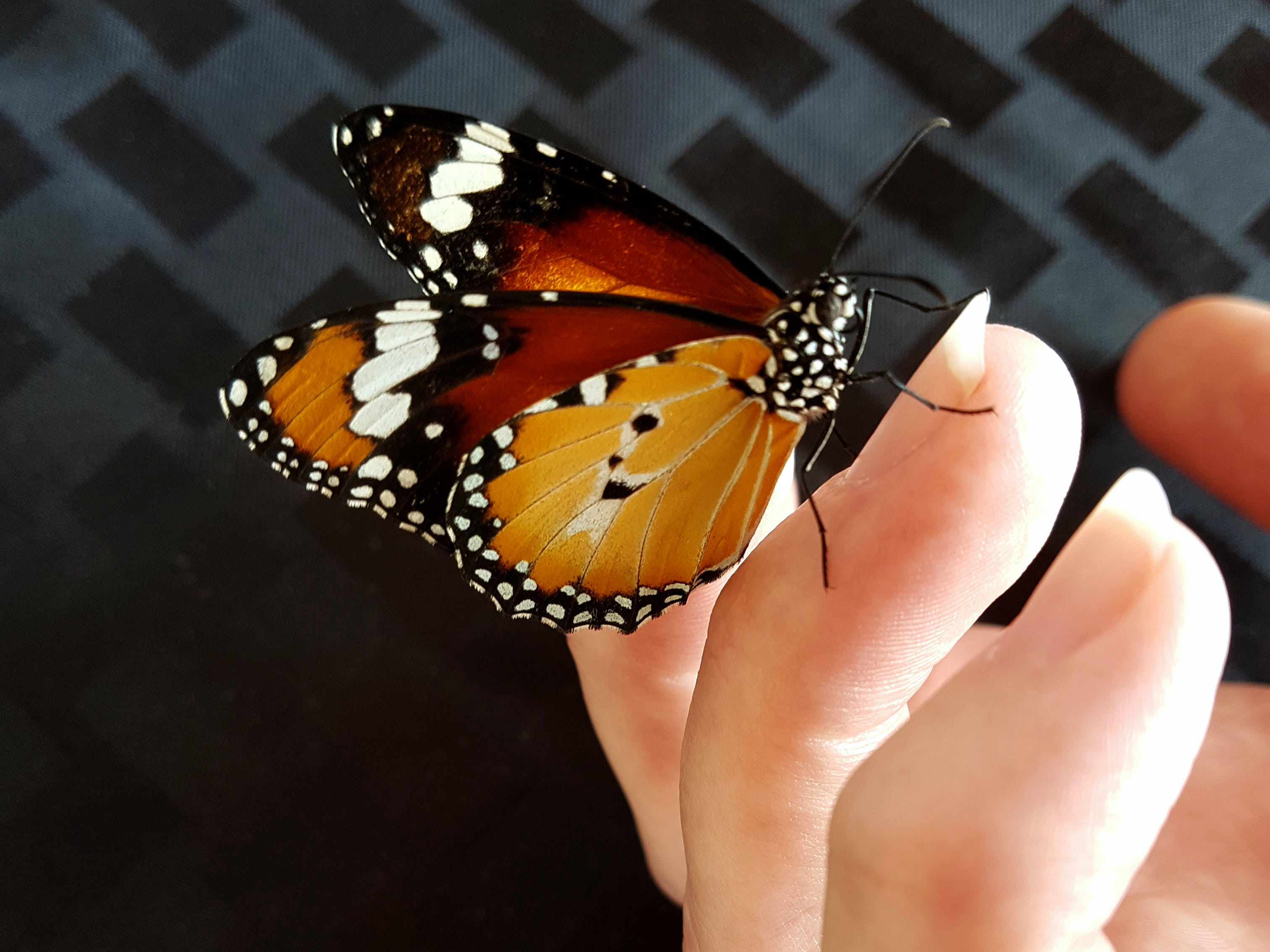 Free stock photo of Close up of butterfly on finger