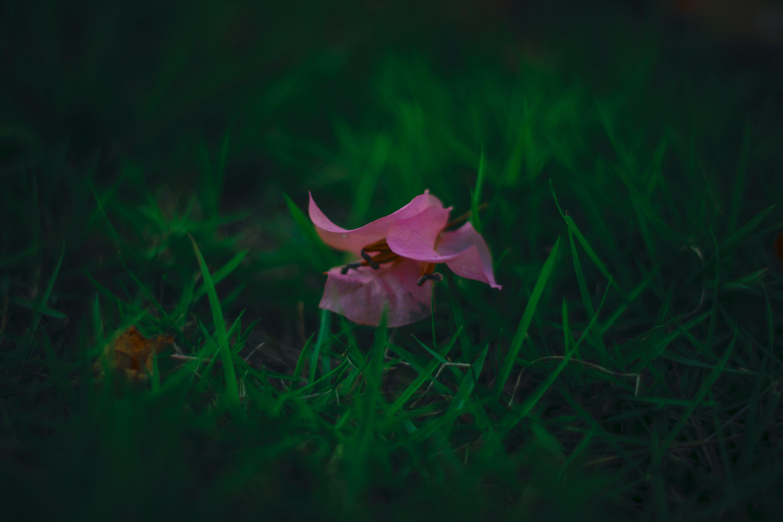 Free stock photo of flower, green, green grass, pink flower