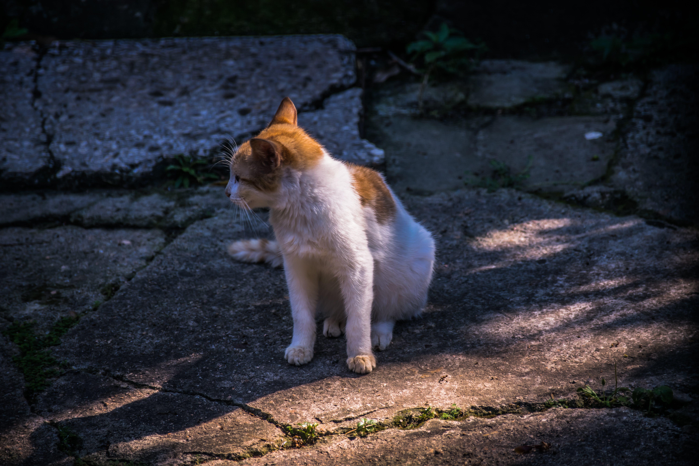 Free stock photo of animal, backyard, cat, Gold-white