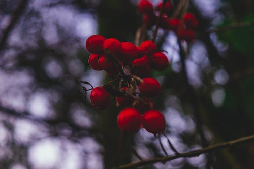 Free stock photo of beauty in nature, berry, branches, bunch
