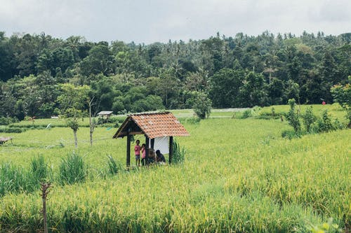 People Gathered Under Shed in Middle of Rice Field