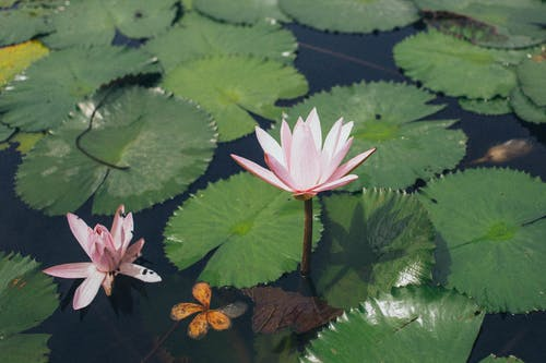 Pink Water Lily On Body Of Water