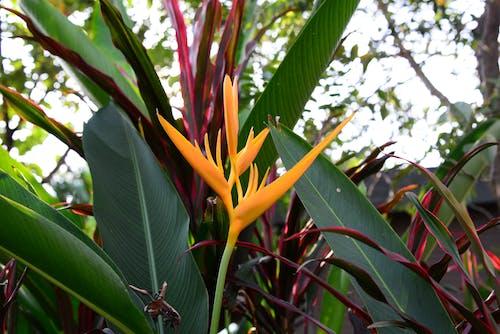 Δωρεάν στοκ φωτογραφιών με background, floristic, heliconia, psittacorum