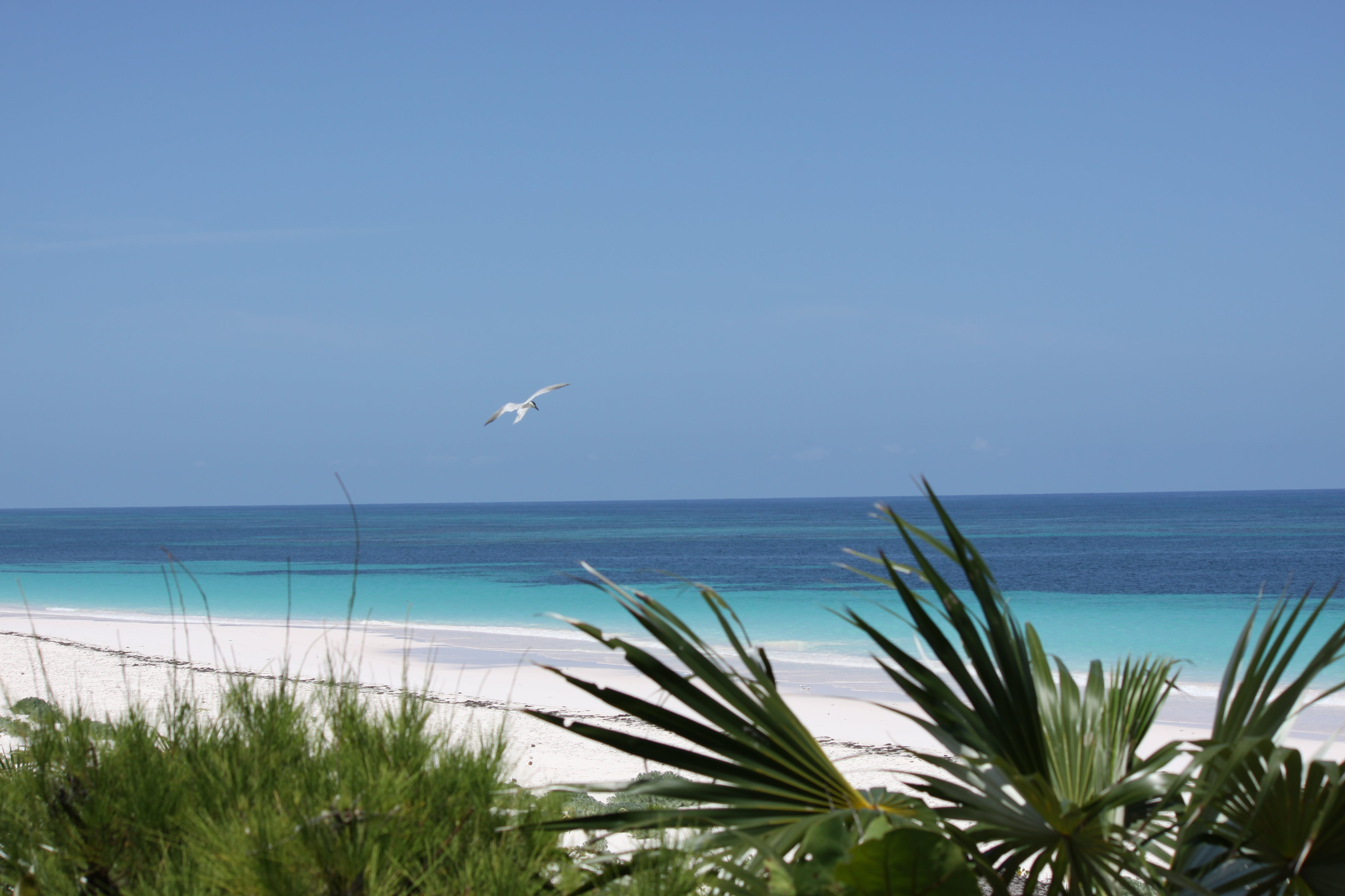 Free stock photo of Bahamas, beach, bird, green