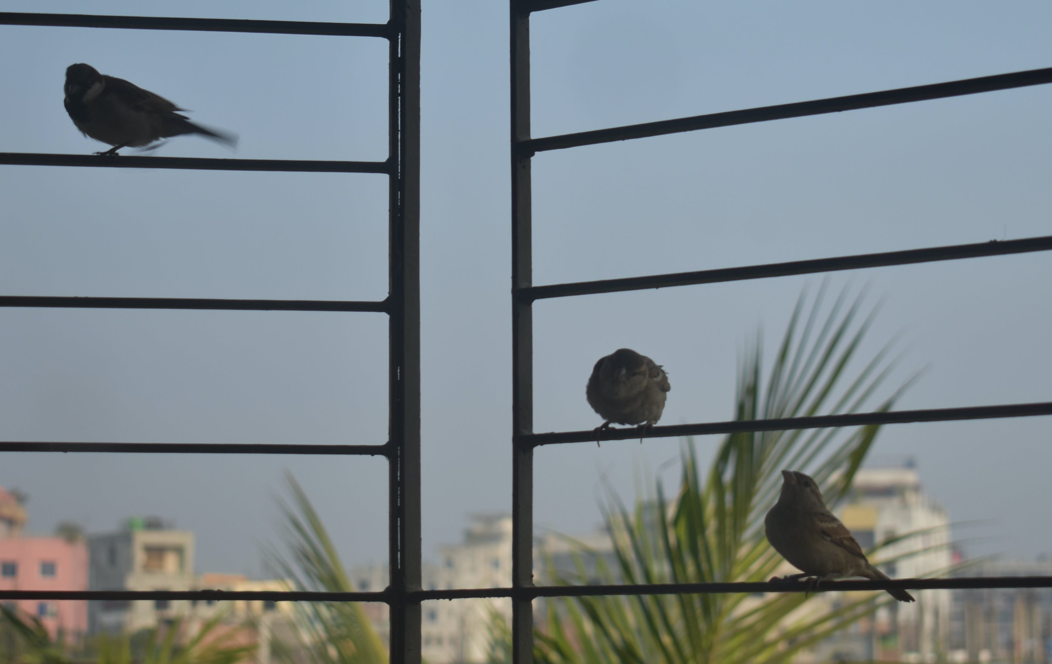 Free stock photo of home sparrow