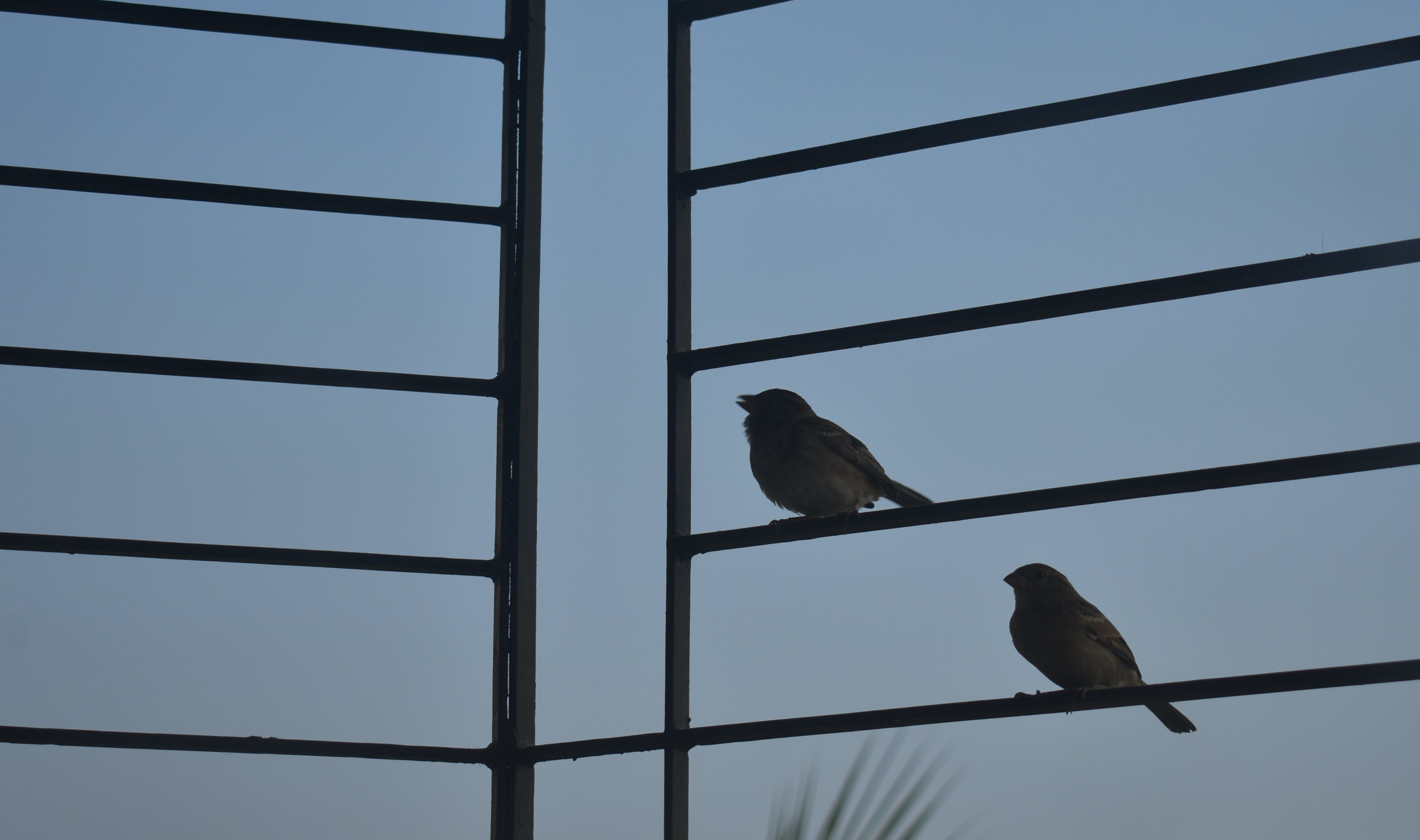 Free stock photo of sparrow