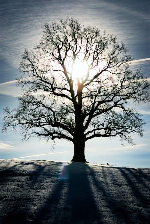 Imagine de stoc gratuită din arbore, cer albastru, copac, soare auriu