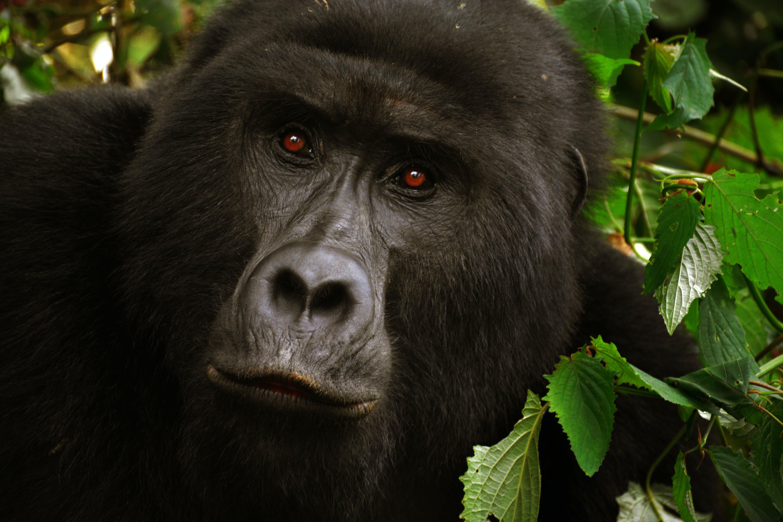 Black Gorilla Close-up Photo