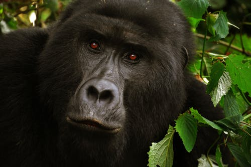Black Gorilla Close-up Photo