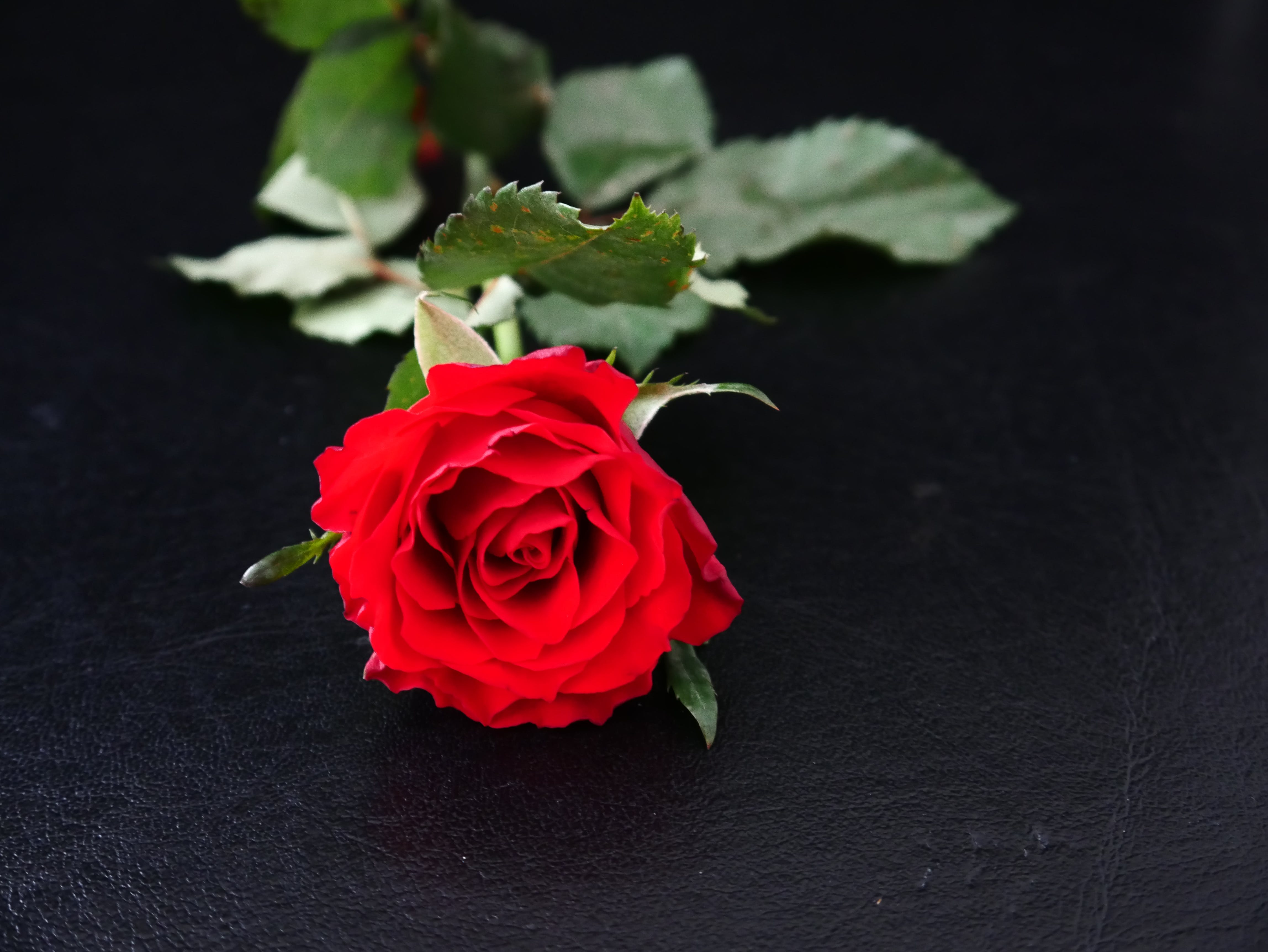 Kostenloses Stock Foto zu blüte, liebe, romantisch, rose