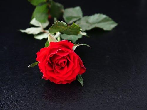 Photos gratuites de amour, fleurir, romantique, rose