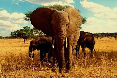Free stock photo of africa, african, african elephant, elephant