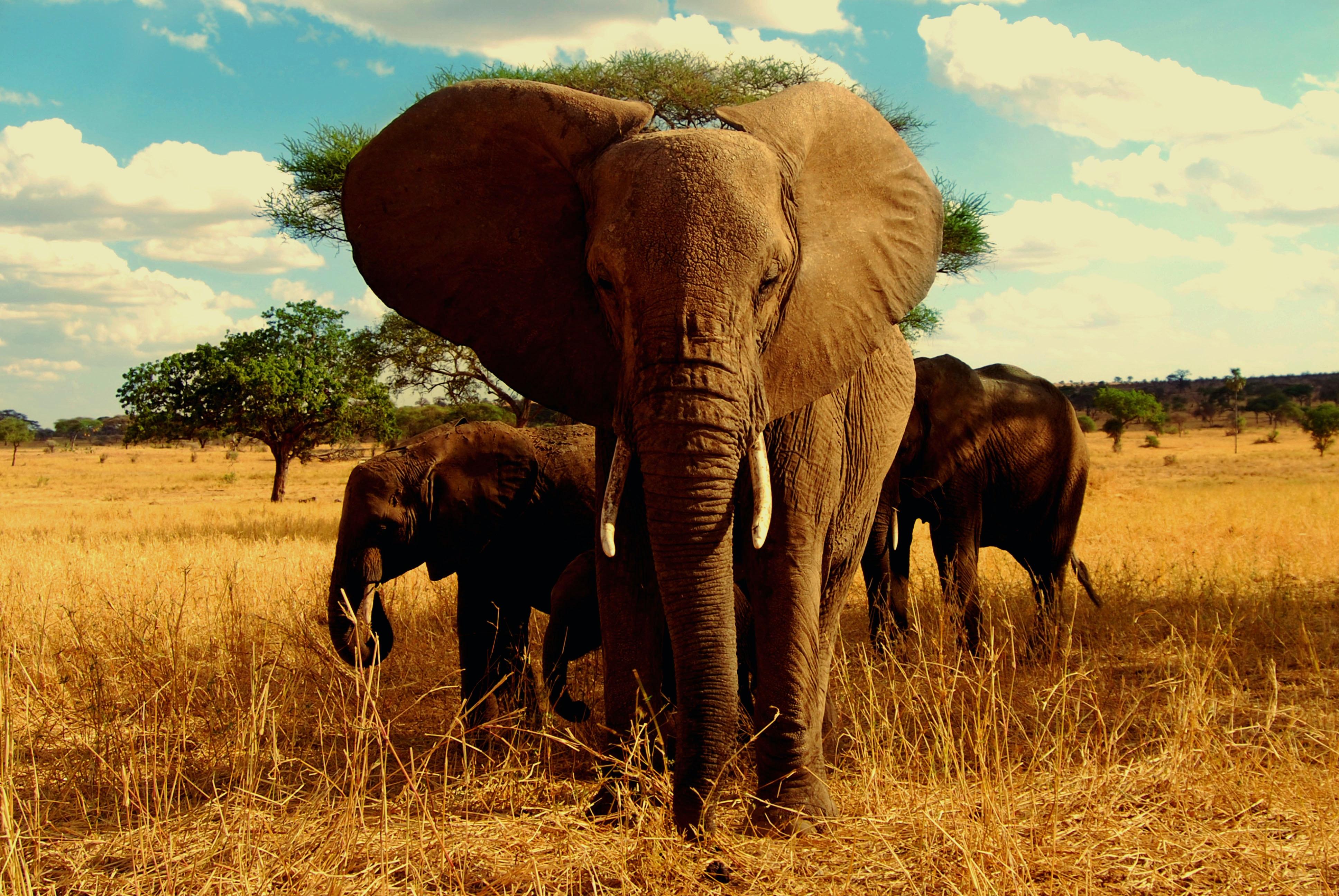 Free Stock Photo Of Africa African Elephant Elephant