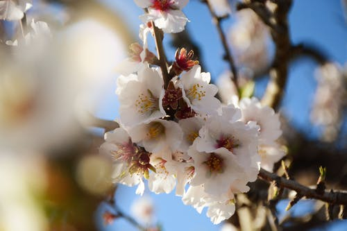 Free stock photo of almond, almonds, beautiful flower, cherry blossom
