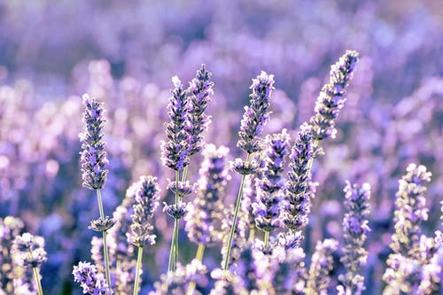 Free stock photo of blooming lavender, color, lavender