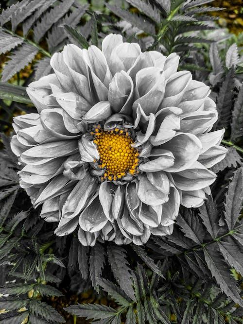 Gratis stockfoto met blauwe bloemen, bnw, zwart en wit