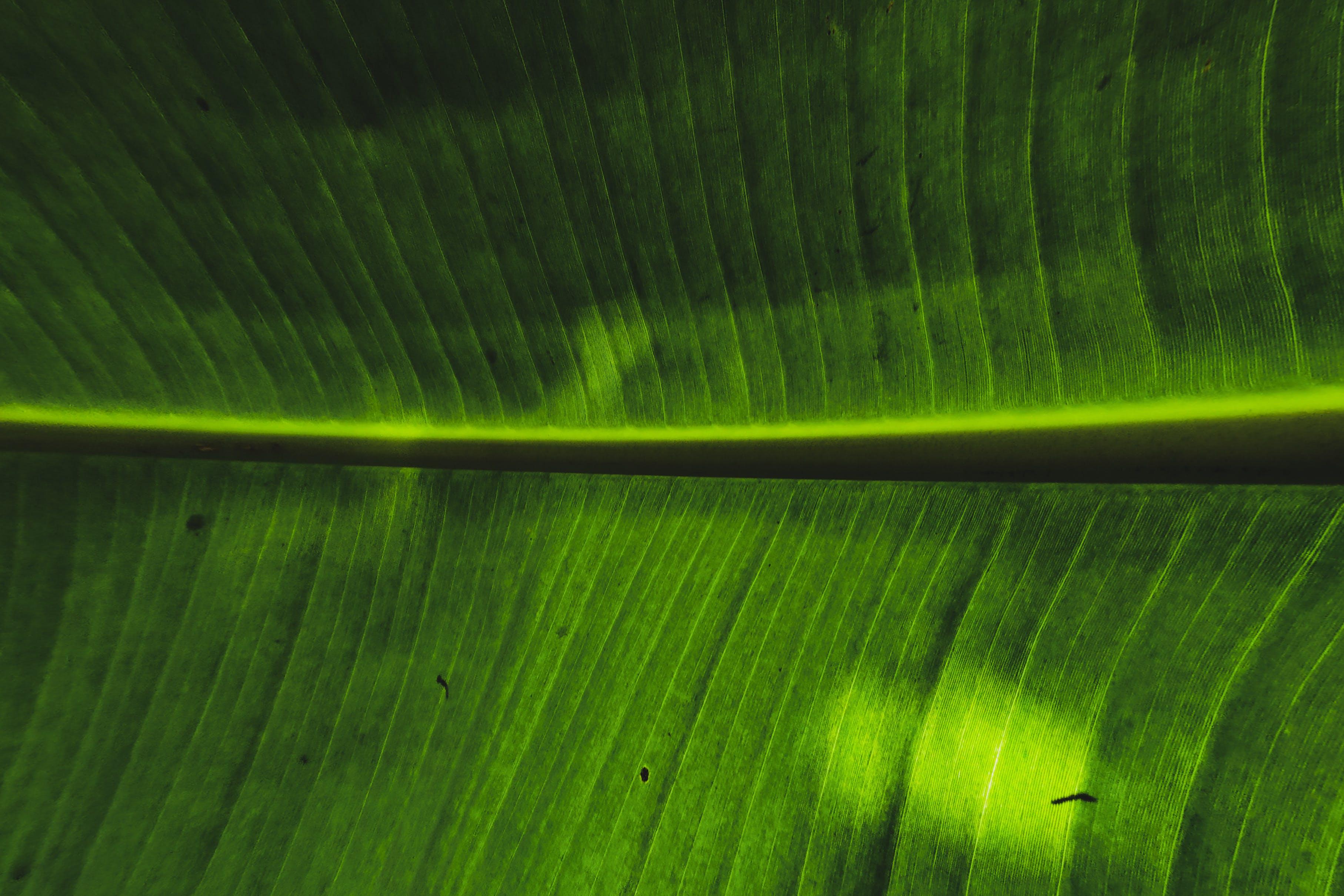 Základová fotografie zdarma na téma banánový list, detailní záběr, HD tapeta, makro