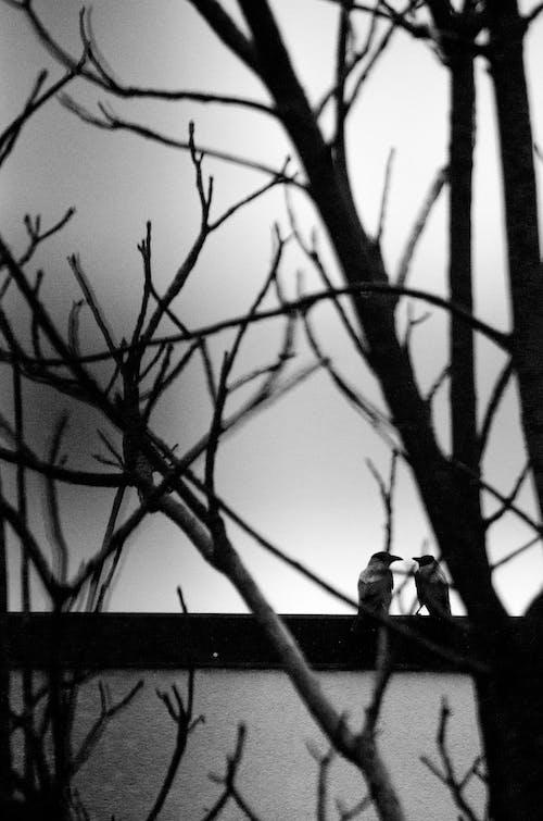 Imagine de stoc gratuită din alb-negru, arbore, ciori, crengi