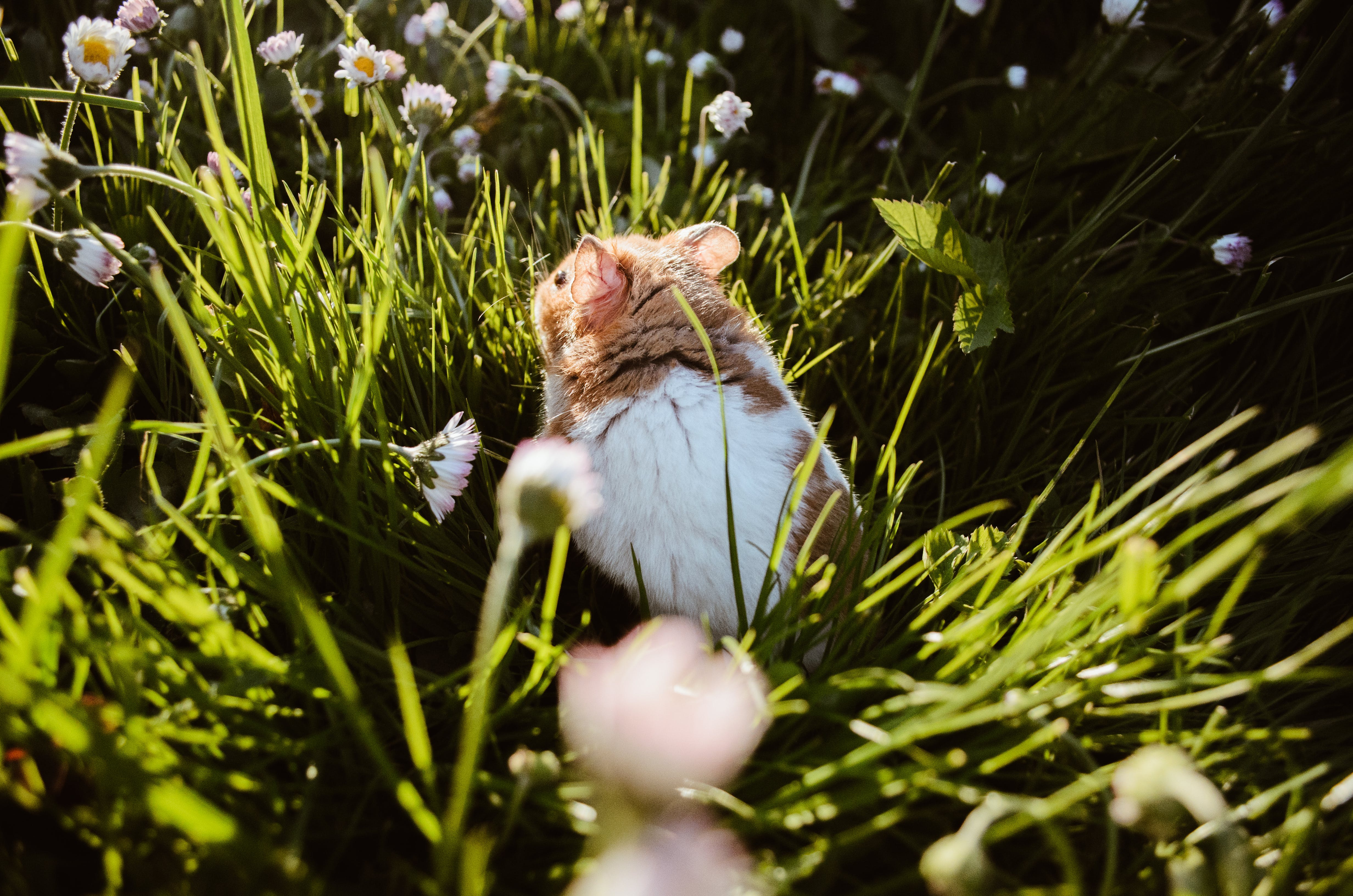 Free stock photo of adventurous, grass, hamster, majestic