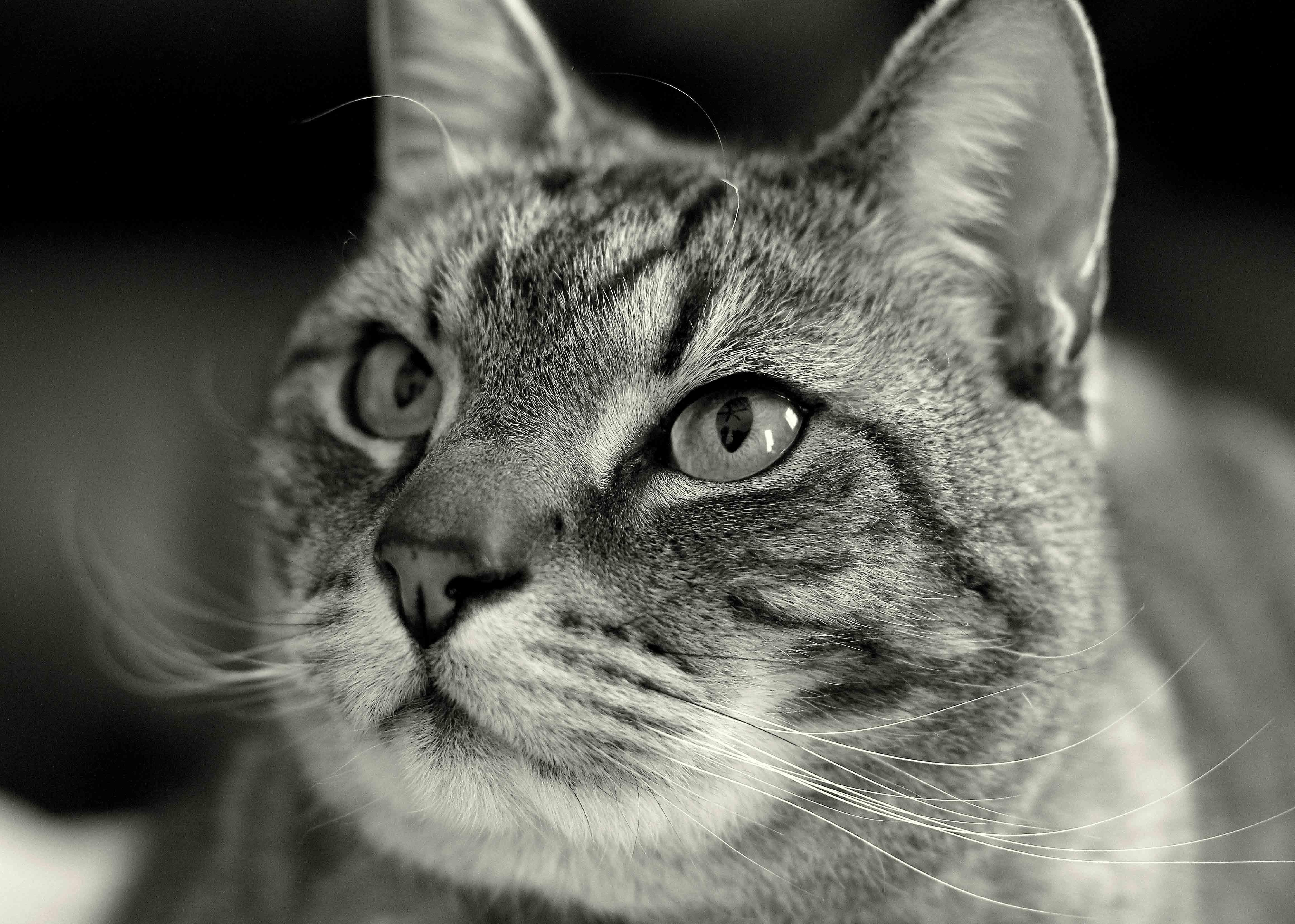 black-and-white, cat, pet