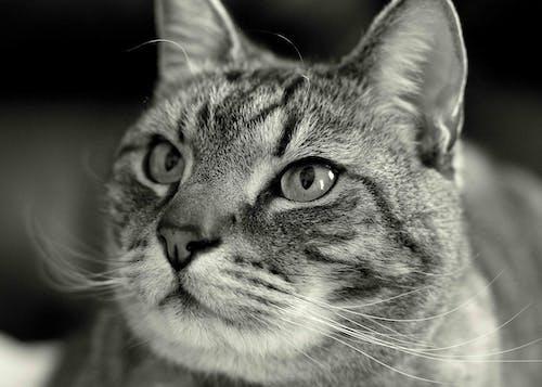 Kostenloses Stock Foto zu haustier, katze, schwarz und weiß, schwarzweiß