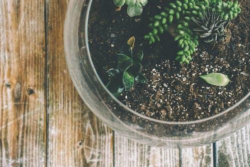 Suculentas Verdes Em Uma Tigela De Vidro Transparente
